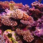 Коралы (Corals)